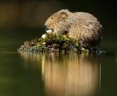 Water vole on vegetation
