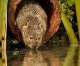 Water vole drinking