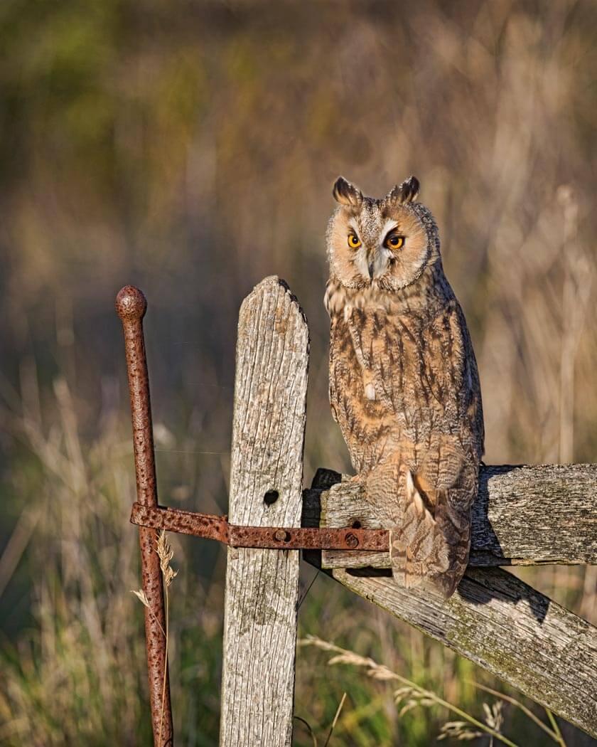 PWP_006_Bengal_Owl_491