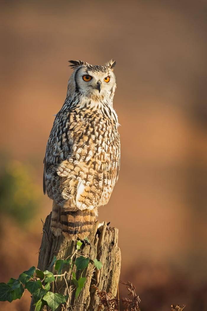 PWP_008_Bengal_Owl_PWP_002_Bengal_Owl__H0R4575A