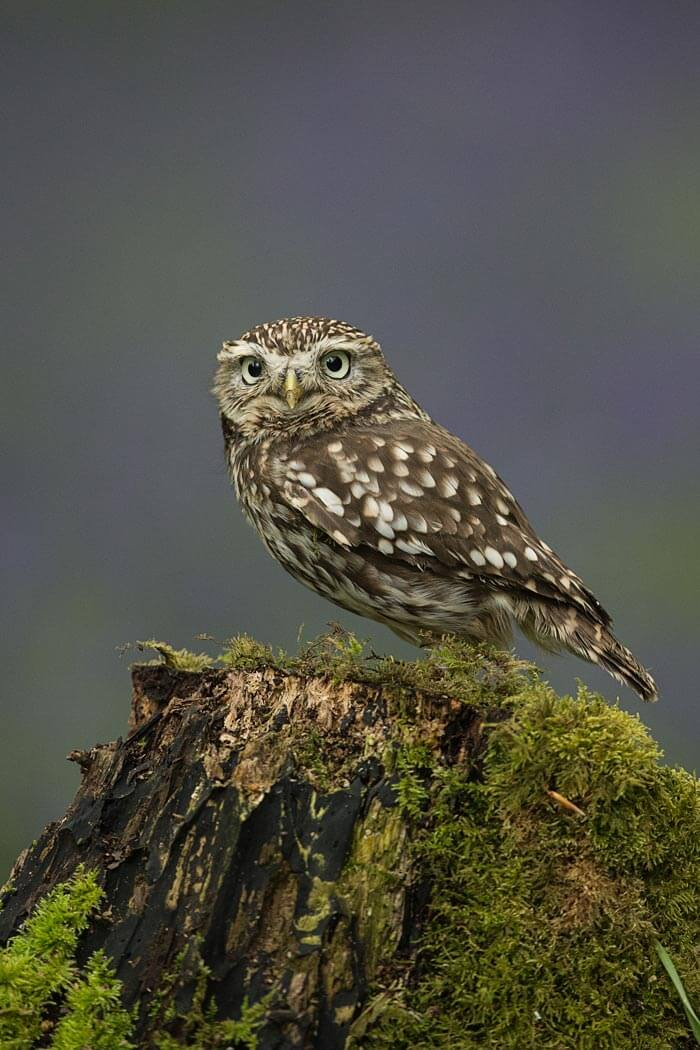 PWP_009_Little_Owl_AH0R8229A