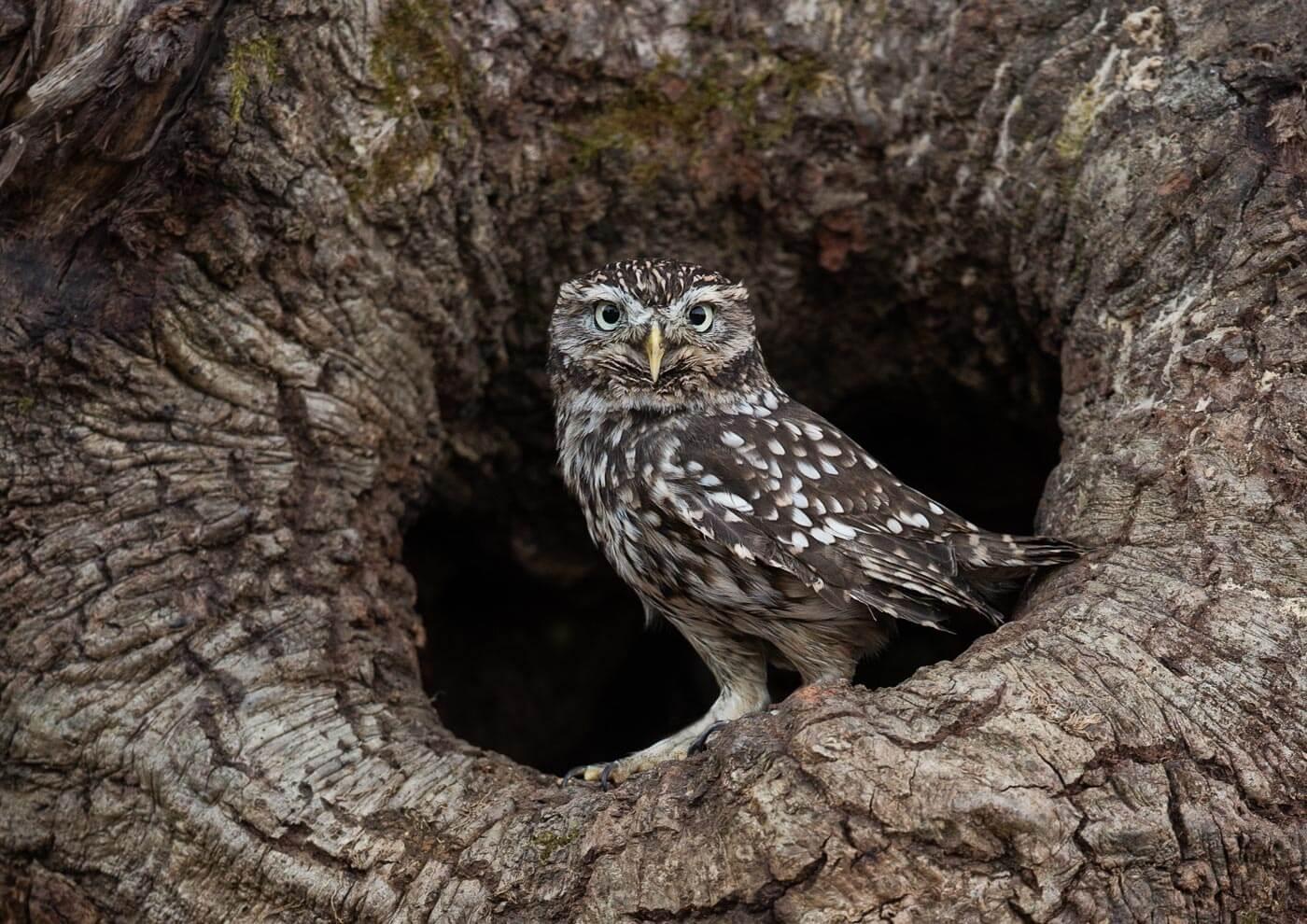 PWP_023_Little_Owl_PWP_012_Little_Owl_AH0R4407AA