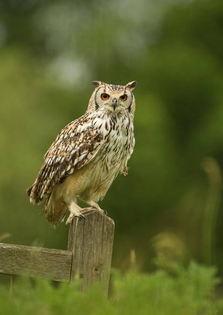 PWP_026_Bengal_Owl_PWP_020_Bengal_Owl_AH0R9483A