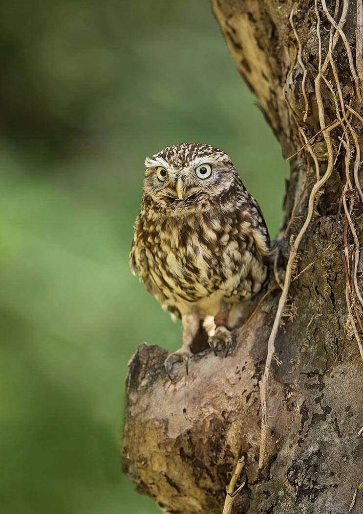 PWP_032_Little_Owl_PWP_021_Little_Owl_AH0R6306A_18