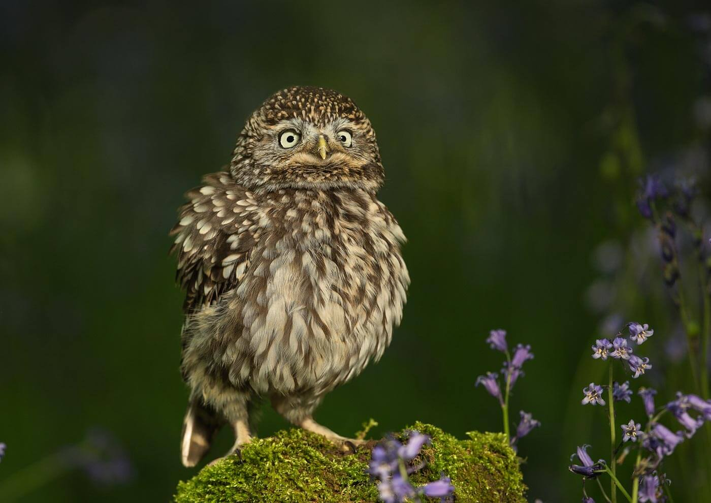 PWP_040_Little_Owl_PWP_029_Little_Owl_AH0R8545A