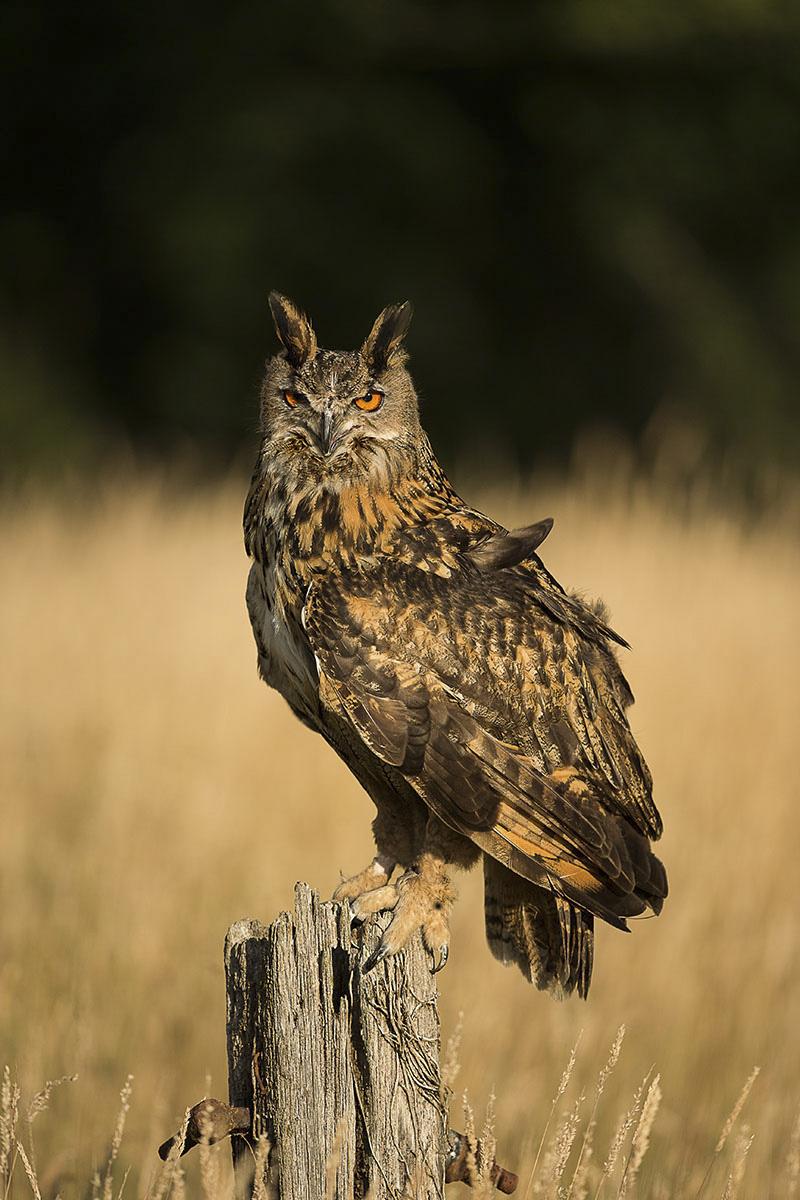 Woodland-Walk-European-Eagle-Owl-on-Post-in-Glade